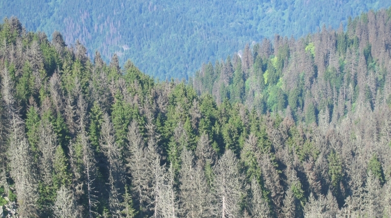 Photo of damaged spruce trees caused by Ips typographus