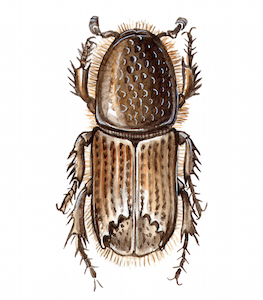 Illustration of Ips typographus, the eight-toothed spruce bark beetle